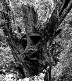 Broken Oak, Juniper Top