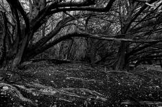 Yew Tree Grove, Juniper Hill