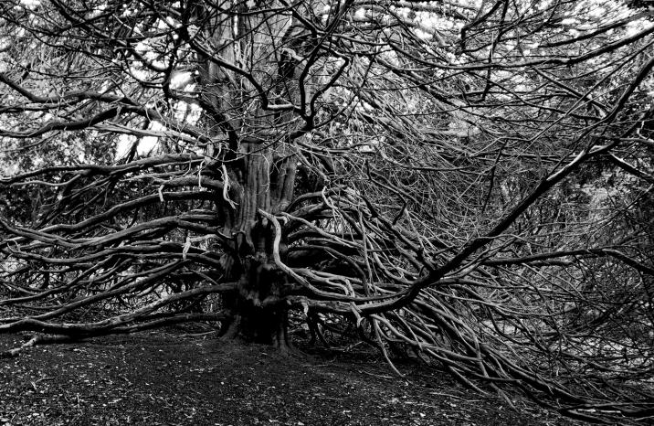 Yew Tree, Juniper Top